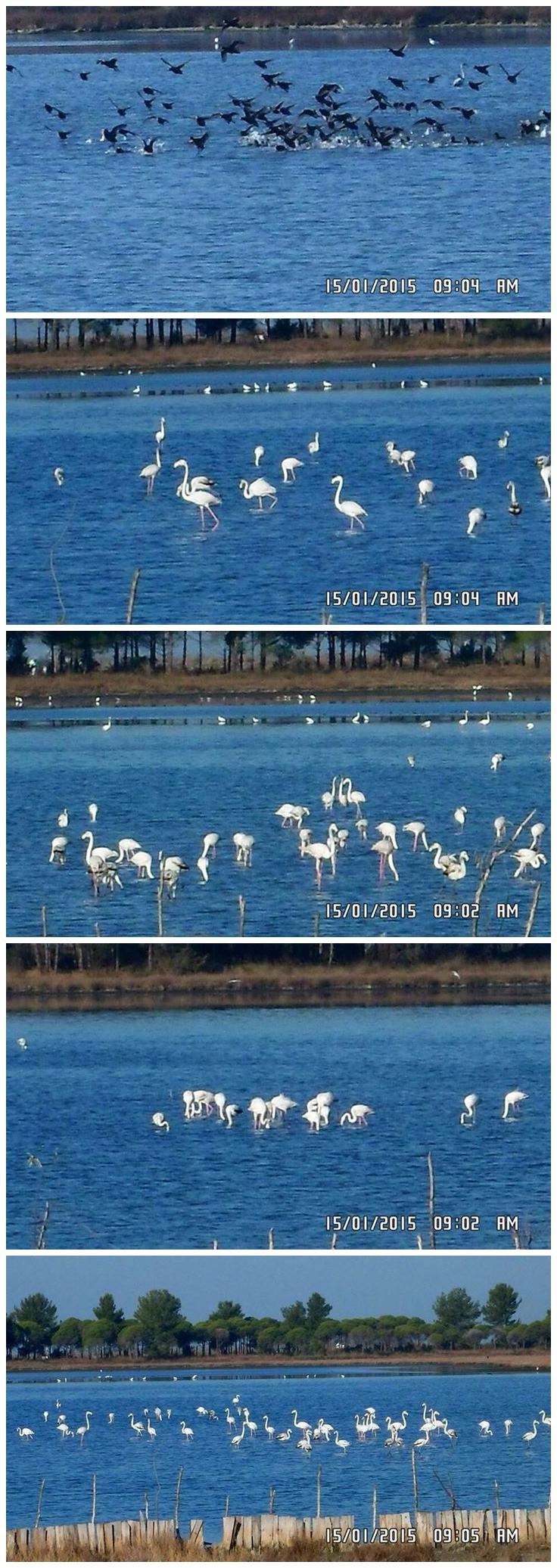 flamingo divjake